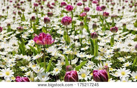 White daisy field background.White daisy field and purple tulips .