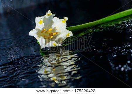 Snowdrop spring flowers. Snowdrop Snowdrop forest leaf nature plant white flowers sun