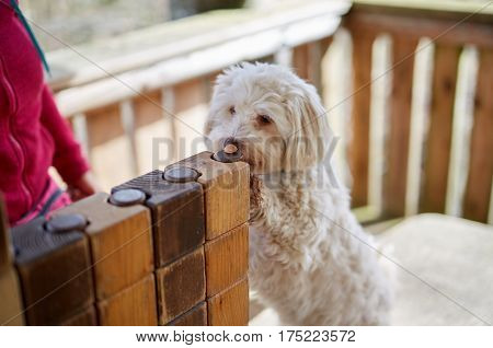 Havanese Dog Taking Cookie From Pile Of Wood
