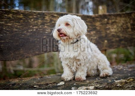 Havanese Dog Sitting On A Wooden Bench