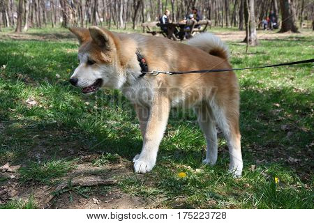 Curious Akita Inu puppy walking in public park