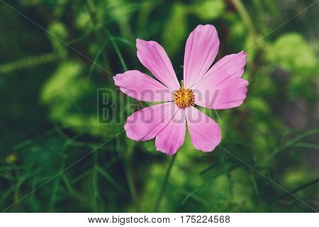 Mexican Aster pink flower or Garden Cosmos, closeup outdoors at green background. Its Latin name is Cosmos Bipinnatus Radiance, native to Mexico. Popular annual plant cosmea.