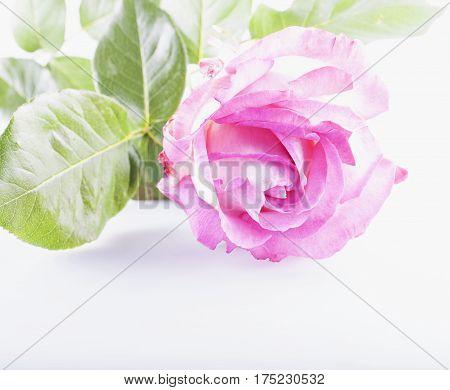 Pink rose over white background horizontal image