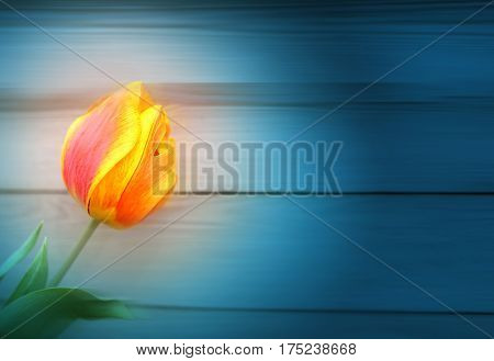 Photo of a beautiful tulip on a dark background