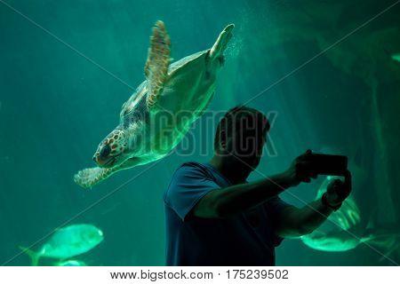 MADRID, SPAIN - JULY 6, 2016: Visitor makes a selfie while the loggerhead sea turtle (Caretta caretta), also known as the loggerhead swimming in Madrid Aquarium, Spain.