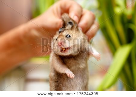 The Syrian Hamster, Scary Face With Teeth