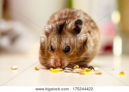 Syrian Hamster Eating Grains, Nuts And Corn.