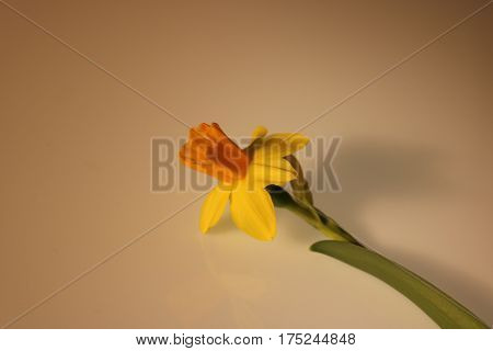 beautiful yellow daffodils isolated with white background