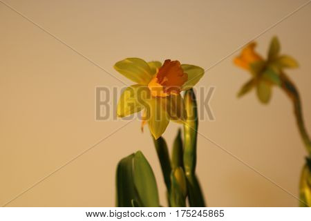 Set of beautiful yellow daffodils isolated on white background.