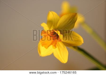 Set Of Beautiful Yellow Daffodils Isolated