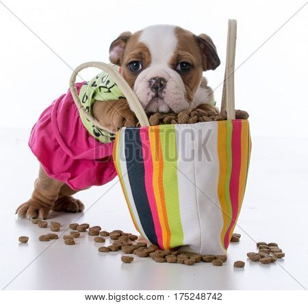 cute puppy with paws inside a big purse full of kibble