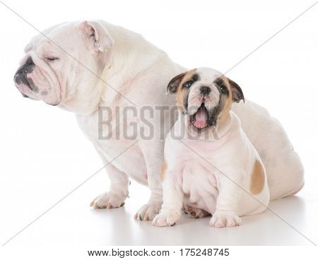 mother and son bulldog on white background