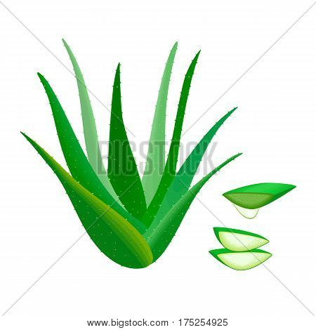 Aloe Vera Aloe barbadensis Mill. Star cactus Aloe Aloin Jafferabad or Barbados whole and slices juice drop. Herbal medicine plant for skin and hair care cosmetics ointments perfumery