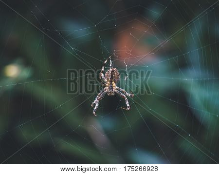 Picture of a common orb weaver spider that is missing its two legs.