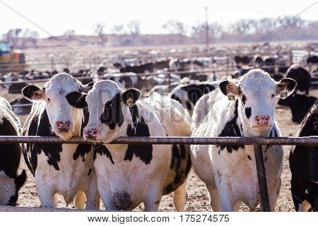 Cattle In Outdoor Feedlot