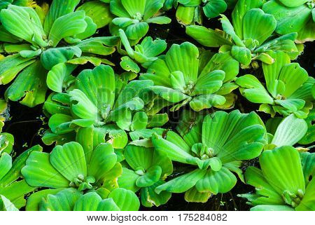 Closeup To Floating Bright Green Duckweed On Water Surface
