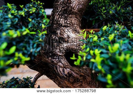 Bonsai tree side view with a black color gradient background Part of a Bonsai series