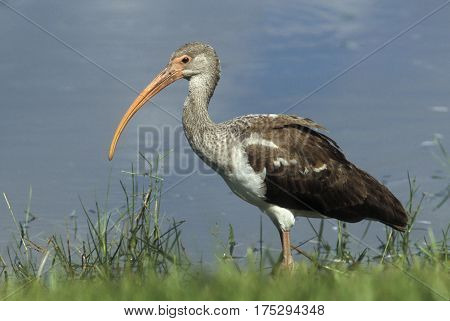 A juvenile White Ibis, Eudocimus albus displaying the plumage of a sub-adult bird near a lake in Florida