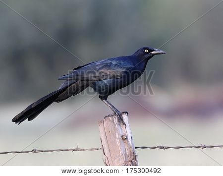 Great-Tailed Grackle Perched on a Fence Post