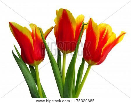 Yellow-red tulips isolated on white background with Clipping Path