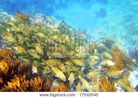 Caribbean sea reef yellow Grunt fish school Mayan Riviera mexico Haemulon flavolineatum poster