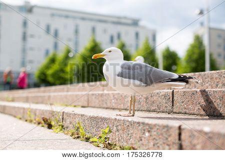 White Sea Gull On The Granite City Steps