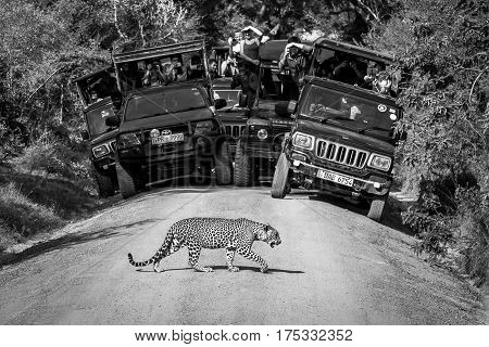 National park Yala Sri Lanka - May 26 2016: Leopard crosses the road in front of the audience in the Yala National Park. Safari. See Here the leopard is a rarity. We were lucky.