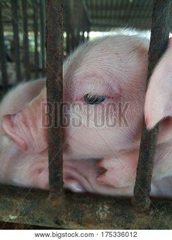 Close up picture of piglet's eye. Sad piglet's eye.