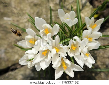 White crocuses bloom in early spring. Nature.
