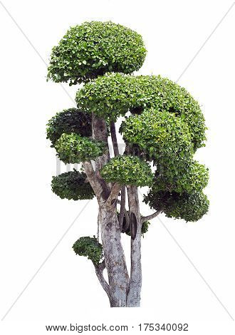 Bonsai trees on white background, Isolated image