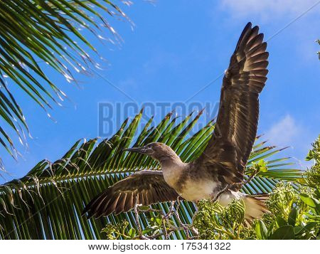 Juvenile red footed booby bird practicing how to fly