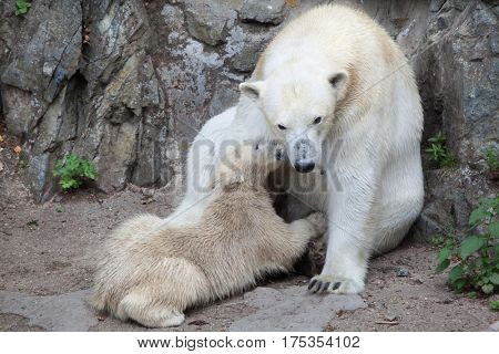 Six-month-old polar bear (Ursus maritimus) sucking its mother.