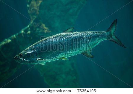 Atlantic tarpon (Megalops atlanticus). Marine fish.