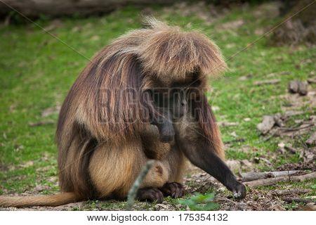 Gelada baboon (Theropithecus gelada), also known as the bleeding-heart monkey.