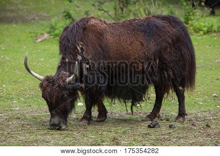 Domestic yak (Bos grunniens). Domestic animal.