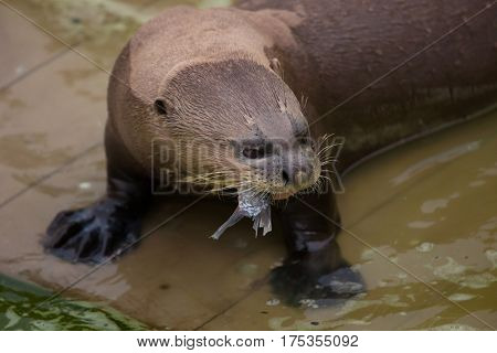 Giant otter (Pteronura brasiliensis), also known as the giant river otter.