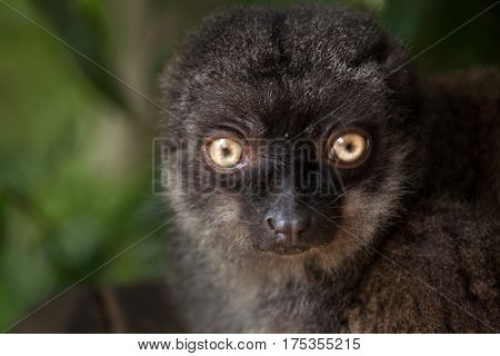 Female white-headed lemur (Eulemur albifrons), also known as the white-fronted brown lemur.