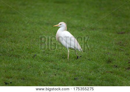 Cattle egret (Bubulcus ibis). Wildlife animal.