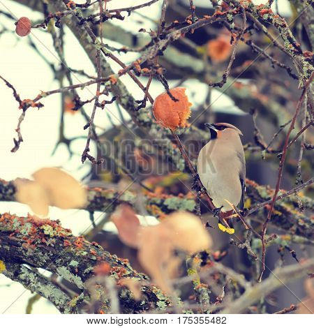 A migratory bird eats apples of last season