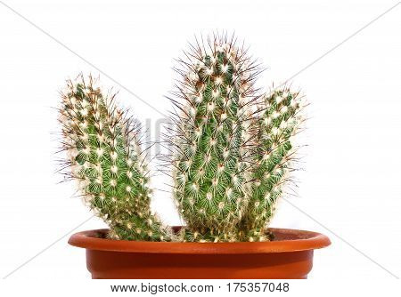 Beautiful prickly cactus in a pot isolated on a light background