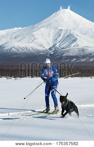 Skijoring (skijor Races) On Background Of Kamchatka Volcanoes