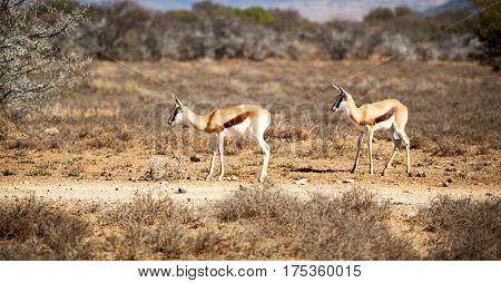 Wild Impala In The Winter Bush