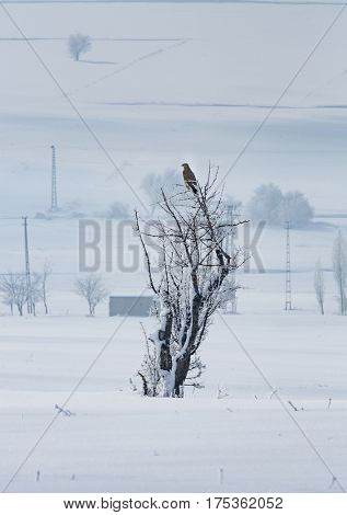 Hawk on tree during winter