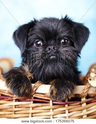brussels griffon puppy portrait