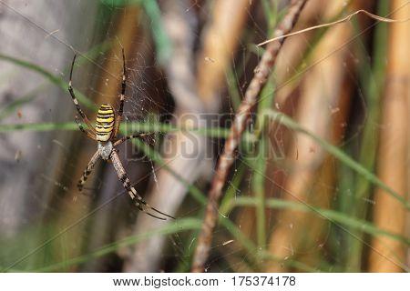 Garden spider in the spiderweb