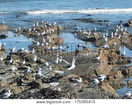 BIRDS RESTING ON SOME ROCKS, MELKBOS STRAND, CAPE TOWN SOUTH AFRICA 09zgo