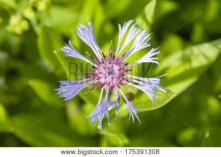 blue cornflower flower closeup top view on green leaves background