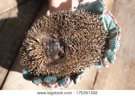 hedgehog closeup rolled up in human palms closeup on wooden floor background