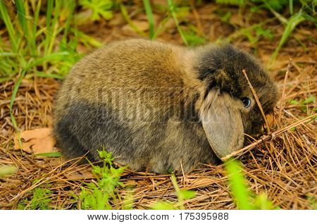 A small brown rabbit lying down with it's ears down
