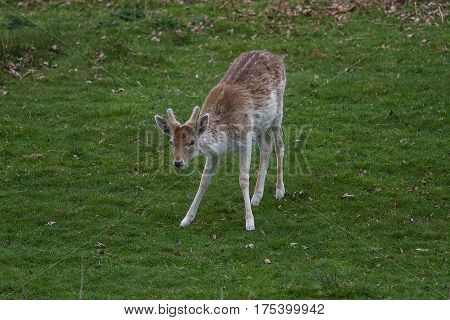 photo of a young male Fallow deer looking up from grazing